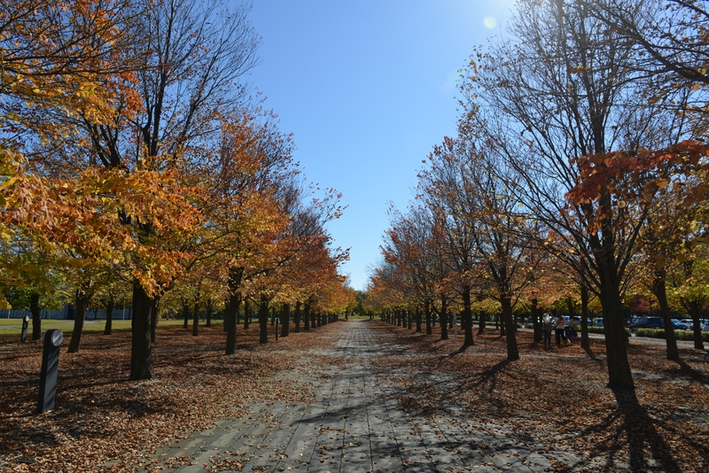 秋晴れの下 紅葉並木-1