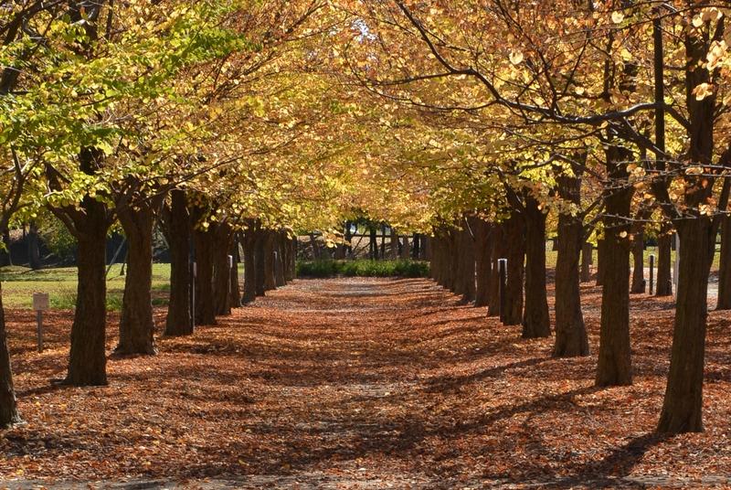 秋晴れの下 紅葉並木-2