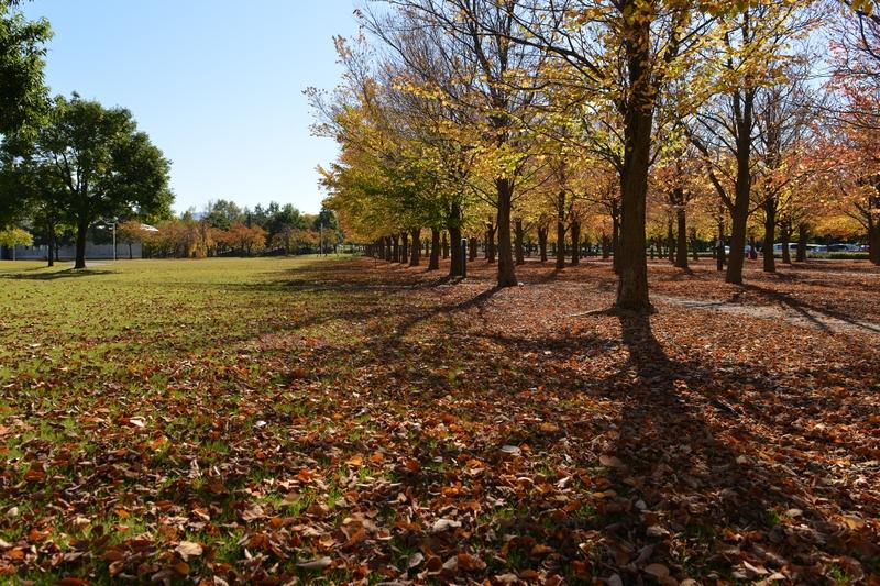 秋晴れの下 紅葉並木-3