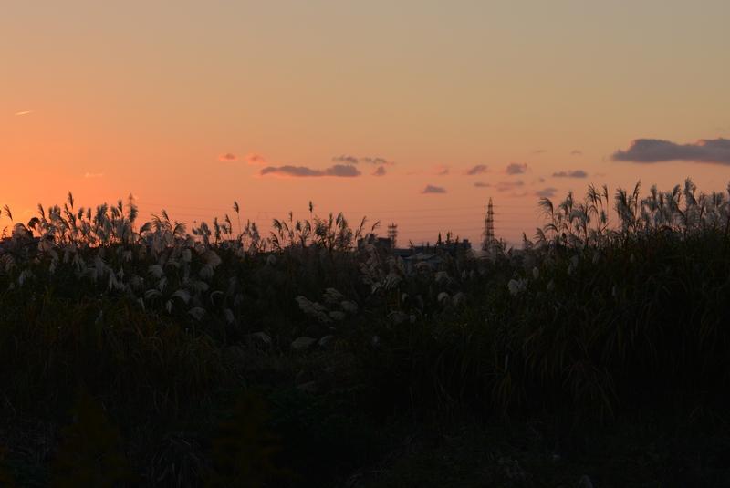 すすき、夕陽-1