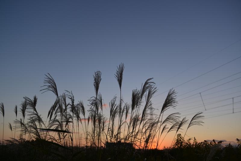 すすき、夕陽-2