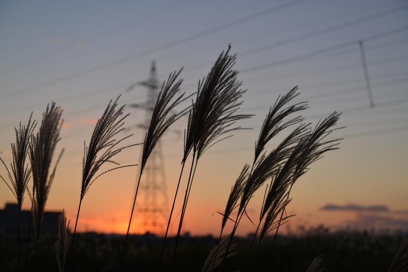 すすき、夕陽-3