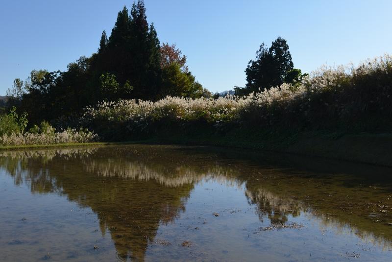 里山の秋  水田と-3