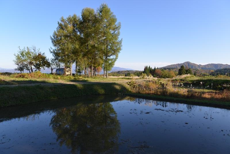 里山の秋  水田と-1