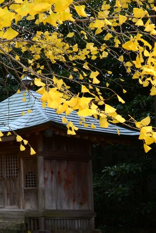 銀杏と神社-3