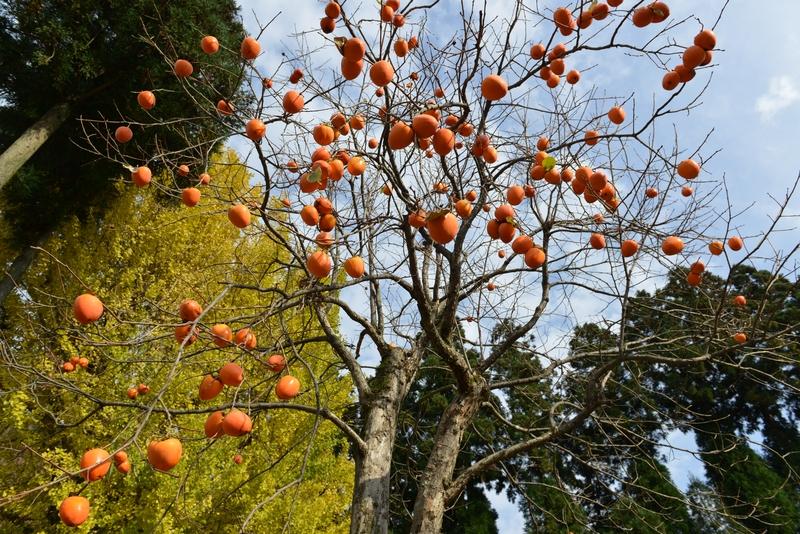柿と銀杏-1