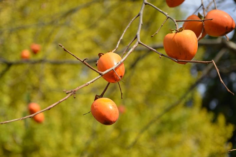 柿と銀杏-3