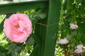 バラの大輪