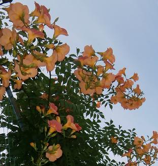 アラマンダの花