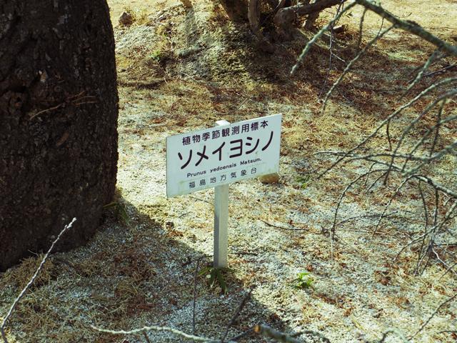 信夫山のソメイヨシノ