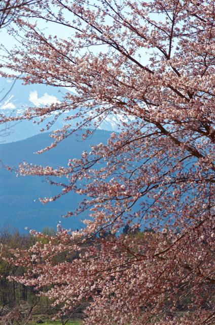 桜兎 (さくらうさぎ)