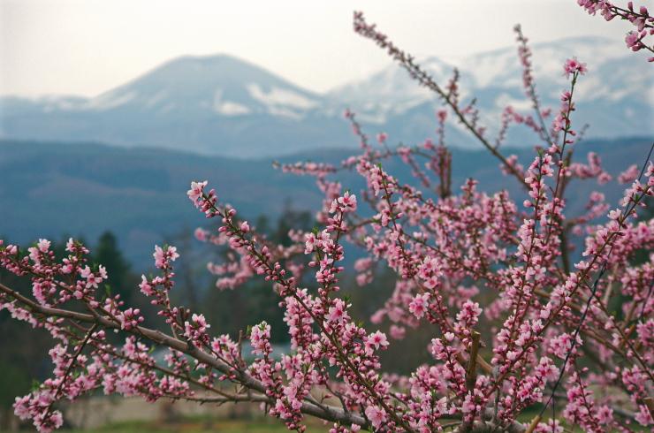 桃の花と兎の親子
