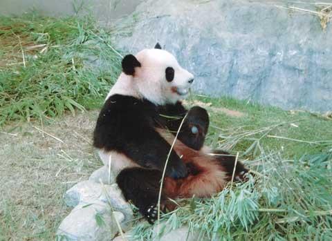 食べてるパンダ