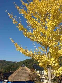 銀杏の木と