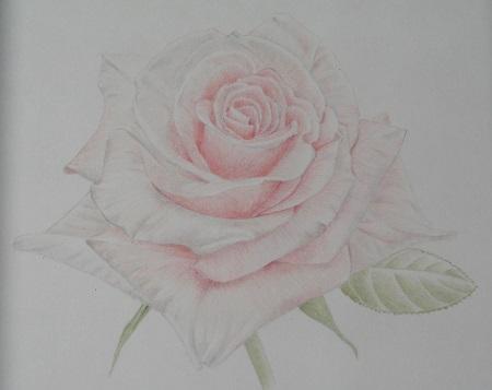 色鉛筆バラ