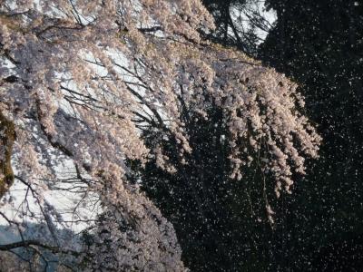 14takizakura2.jpg