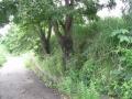 疎水を守るクヌギの木