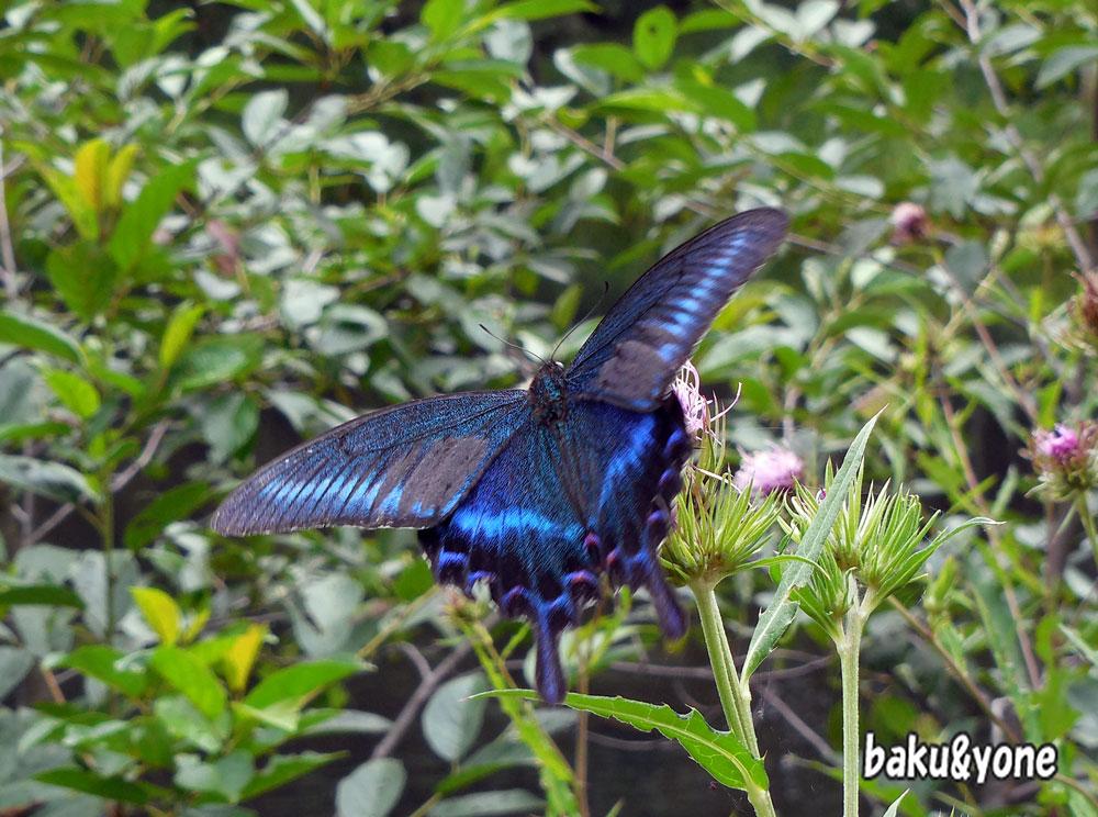 青いアケハチョウ