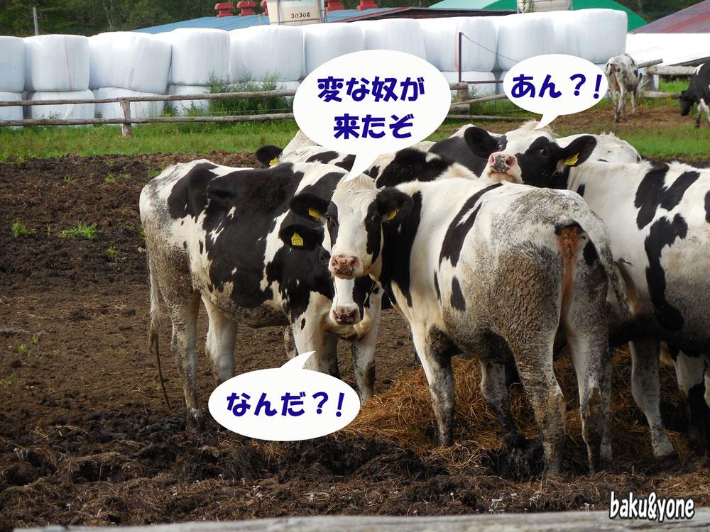 八ヶ岳農場の牛