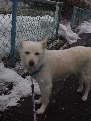 雪ダルマ犬