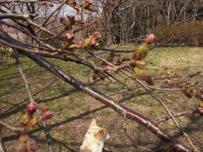 桜は蕾 (2)
