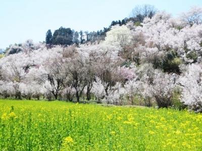 花見山 (1)
