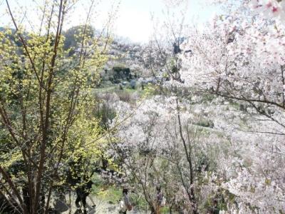 花見山 (3)