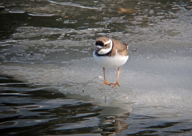 依田川 氷上のイカルチドリ