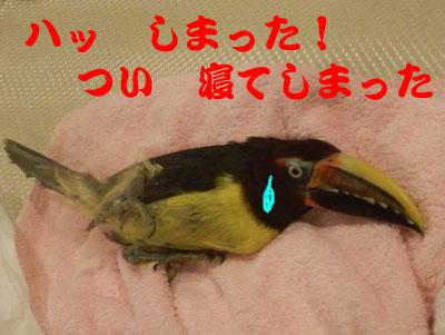 18_チュウハシちゃん寝姿