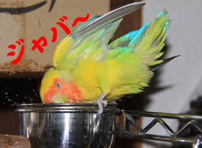 1_リコ水浴び