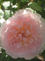rose2013-1+152_convert_20140430220357.jpg