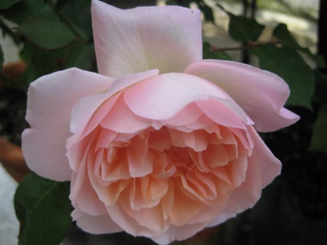 rose2013-1+167_convert_20140430212037.jpg