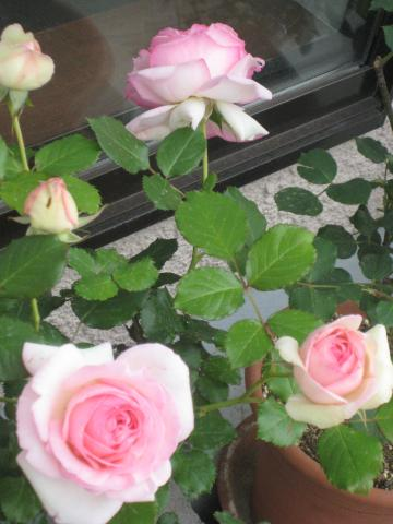 rose2013-1+318_convert_20140419233434.jpg