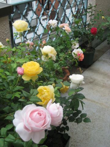 rose2013-1+323_convert_20140419233307.jpg