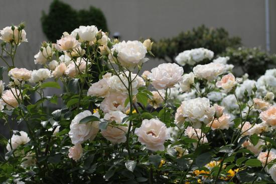 庭 バラ1