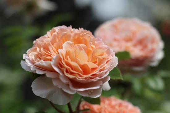 庭 バラ2