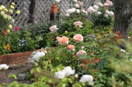 庭 バラ3