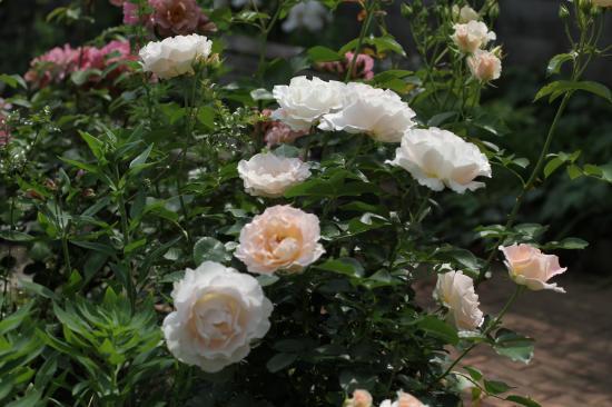 庭 バラ4