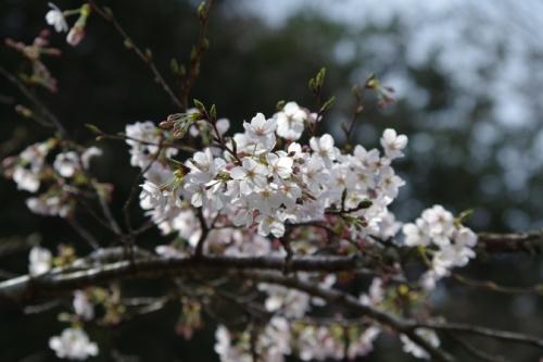 02kamakura2sakura1.jpg