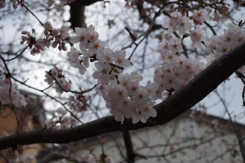 16kamakura2sakura3.jpg
