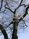 2014年の桜