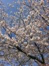 散る前の桜