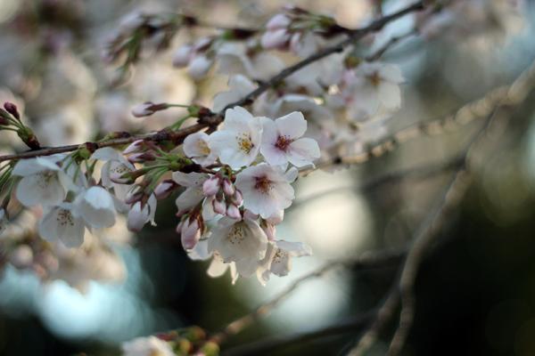 03桜 のコピー