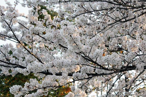 12桜 のコピー