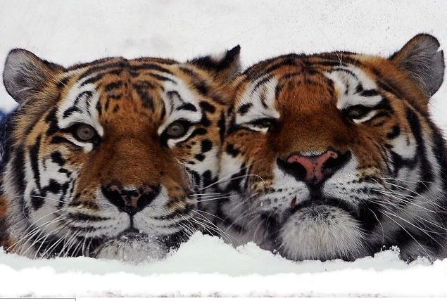 露サンクトペテルブルク(Saint Petersburg)のレニングラード動物園(Leningrad Zoo)で、おりの中で仲良く並んで座る2匹のアムールトラ(2014年2月2日撮影