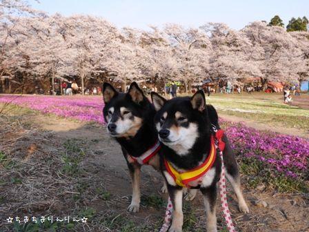 赤城千本桜①