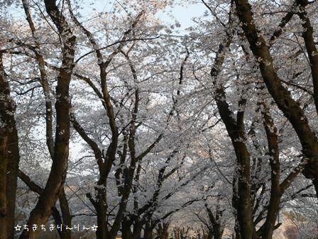 赤城千本桜④