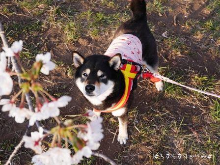赤城千本桜③