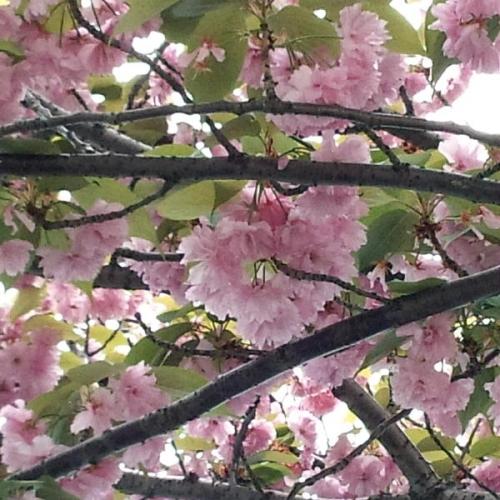 遊歩道の八重桜