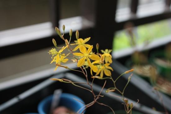 ブルビネ開花2014-05-25